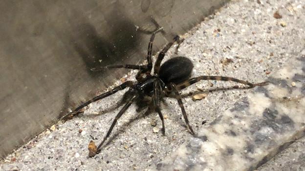黒い小さなまだら模様の蜘蛛 - 1