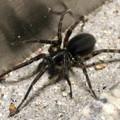 黒い小さなまだら模様の蜘蛛 - 2