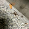 Photos: 小さいまだらな蜘蛛 - 1