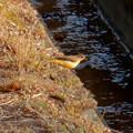 Photos: 用水路沿いにいたキセキレイ - 4