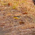 Photos: 用水路沿いにいたキセキレイ - 1