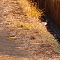 用水路沿いにいたセグロセキレイとキセキレイ - 2
