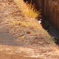 用水路沿いにいたセグロセキレイとキセキレイ - 1