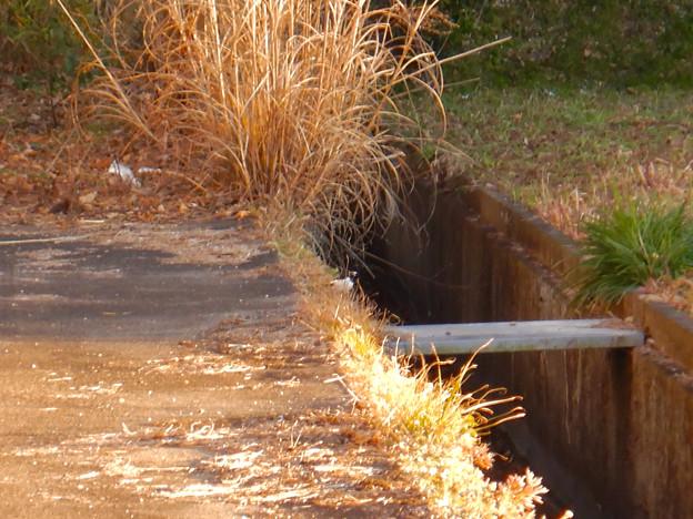 用水路沿いにいたセグロセキレイ - 7