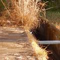 用水路沿いにいたセグロセキレイ - 3