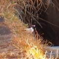 Photos: 用水路沿いにいたセグロセキレイ - 8