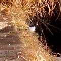Photos: 用水路沿いにいたセグロセキレイ - 4
