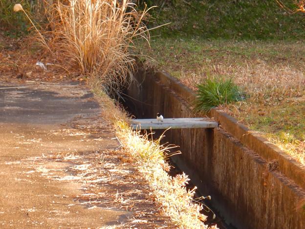 用水路沿いにいたセグロセキレイ - 9