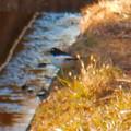 Photos: 用水路沿いにいたセグロセキレイ - 5