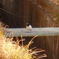 Photos: 用水路沿いにいたセグロセキレイ - 10