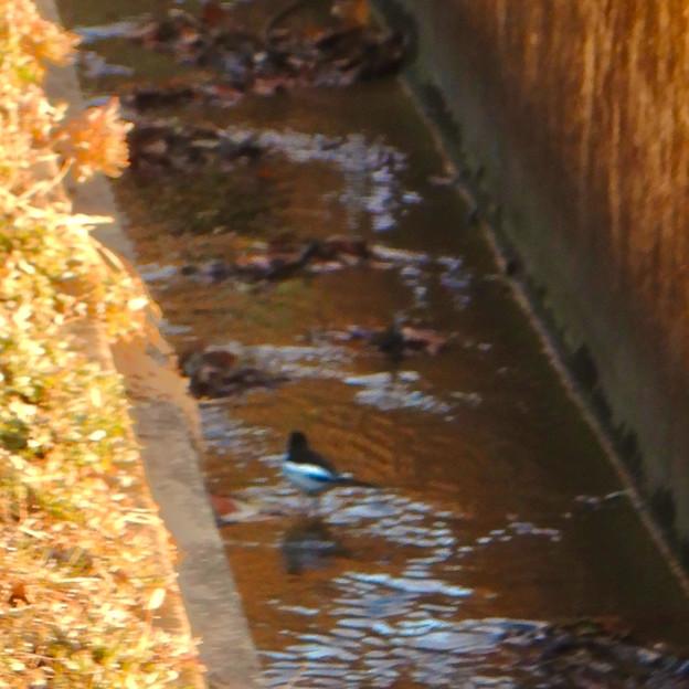 用水路沿いにいたセグロセキレイ - 11