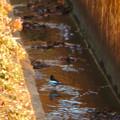 Photos: 用水路沿いにいたセグロセキレイ - 11