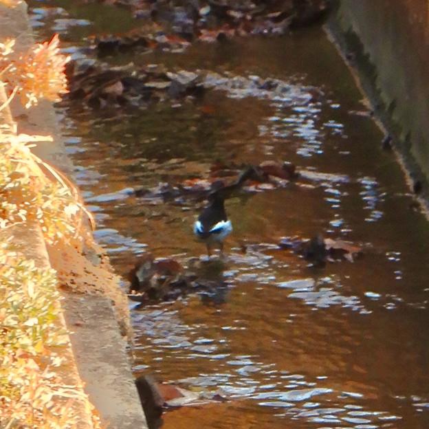 用水路沿いにいたセグロセキレイ - 12