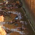 Photos: 用水路沿いにいたセグロセキレイ - 13