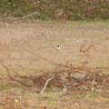Photos: 用水路沿いにいたセグロセキレイ - 14