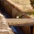 用水路沿いにいたセグロセキレイ - 1