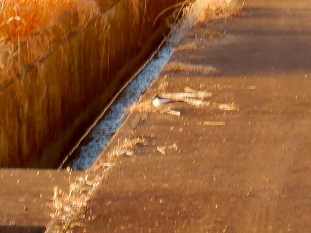 用水路沿いにいたセグロセキレイ - 16
