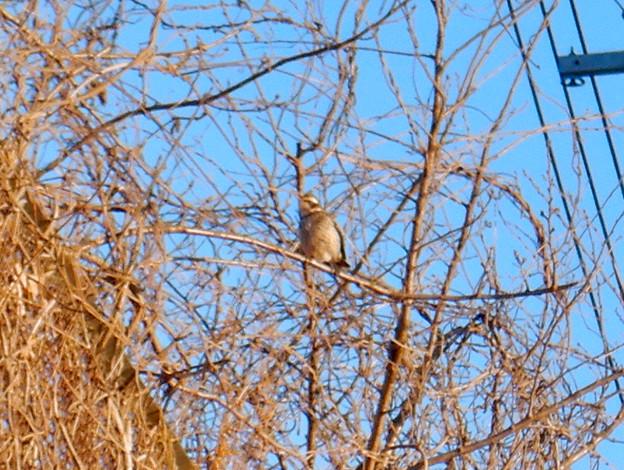 木の上にいた…ツグミ?