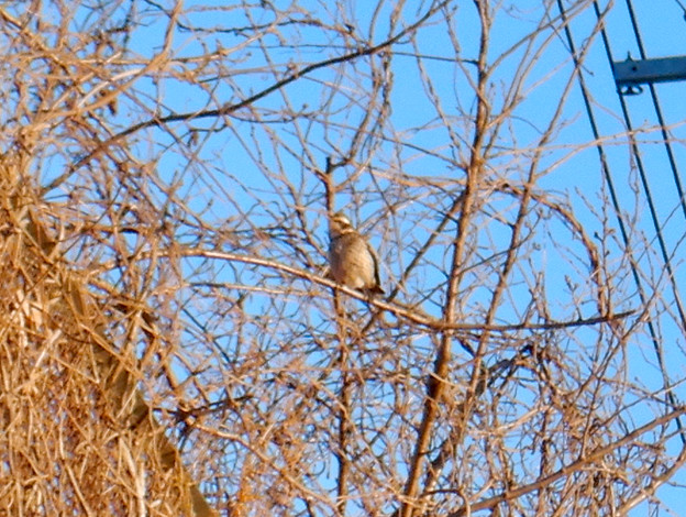 Photos: 木の上にいた…ツグミ?