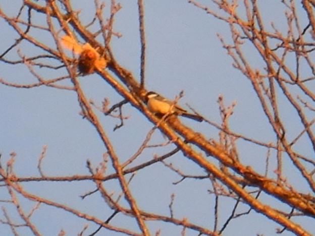 Photos: 木の上にいたシジュウカラ