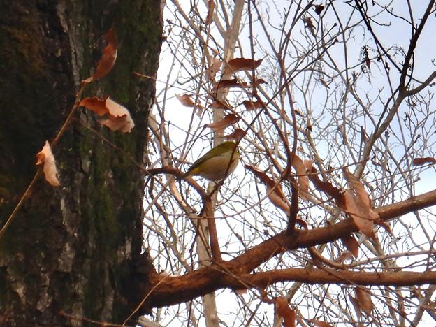 木の上にいたメジロ - 1