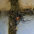 小雨降る日のセアカゴケグモ - 2
