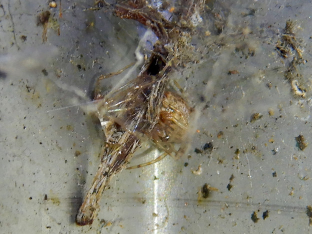 まだら模様の小さな蜘蛛 - 1