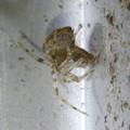 Photos: ヒメグモの一種? - 3