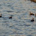 落合公園:池を泳ぐカモ - 1