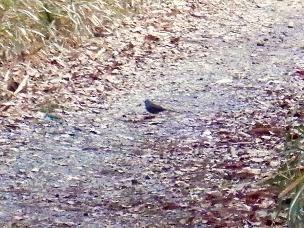 西高森山の遊歩道にいた小さな灰色っぽい鳥