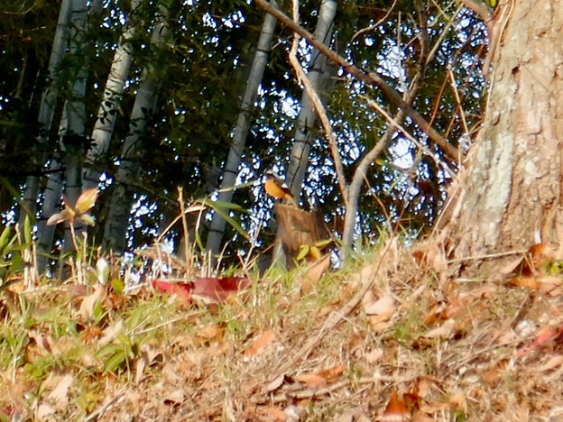 木の上に止まるジョウビタキ - 2