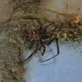 Photos: 巣に隠れるセアカゴケグモのメス