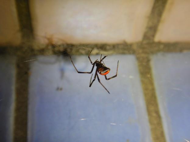 巣作りをしていたセアカゴケグモのメス - 1