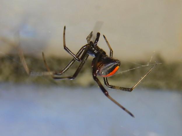 巣作りをしていたセアカゴケグモのメス - 4