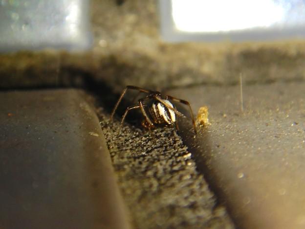 たぶんセアカゴケグモのオス - 1