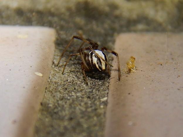 たぶんセアカゴケグモのオス - 3