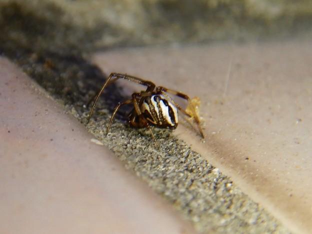 たぶんセアカゴケグモのオス - 5