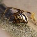 Photos: たぶんセアカゴケグモのオス - 6