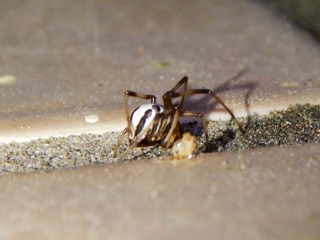 たぶんセアカゴケグモのオス - 7