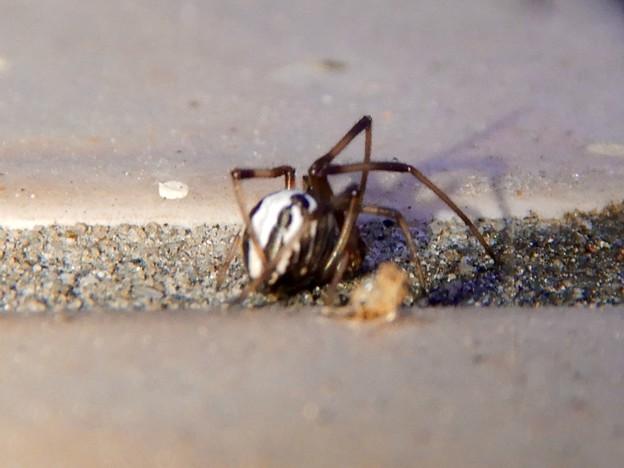 たぶんセアカゴケグモのオス - 8