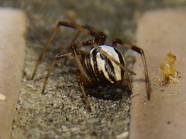 たぶんセアカゴケグモのオス - 4