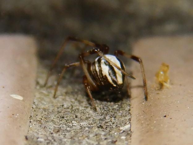 たぶんセアカゴケグモのオス - 2