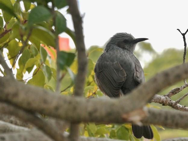 木の上にとまるヒヨドリ - 4