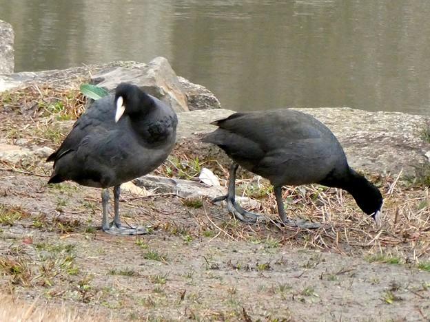 落合公園のオオバン - 14:餌を探してるオオバン