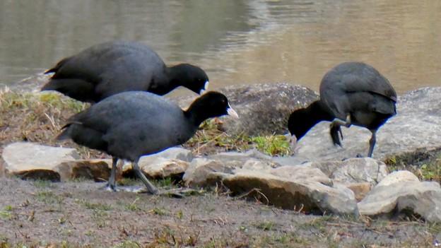 落合公園のオオバン - 15:餌を探してるオオバン