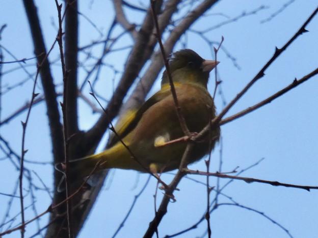 木の上にとまるカワラヒワ - 3