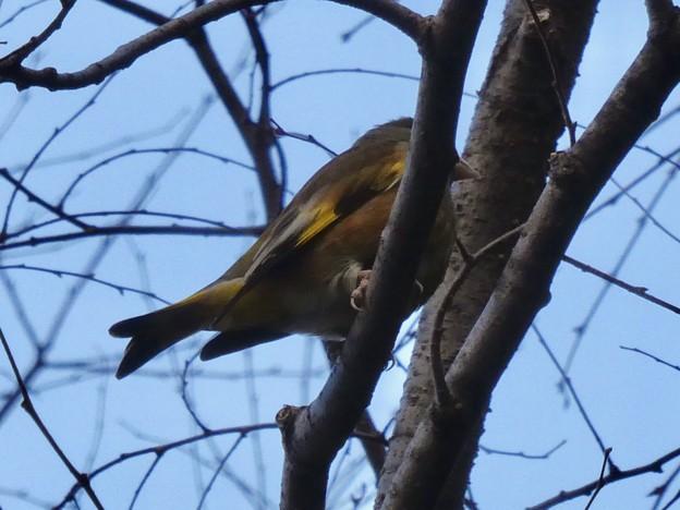 木の上にとまるカワラヒワ - 4