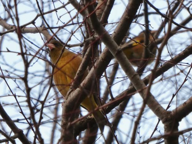 木の上にとまるカワラヒワ - 5