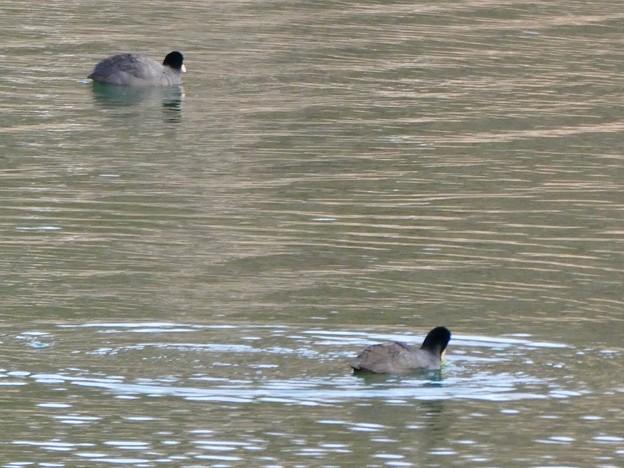 宮滝大池にいたオオバンの群れ - 2