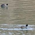 Photos: 宮滝大池にいたオオバンの群れ - 2